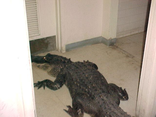 Alligator Captured Inside Nasa Ksc Building