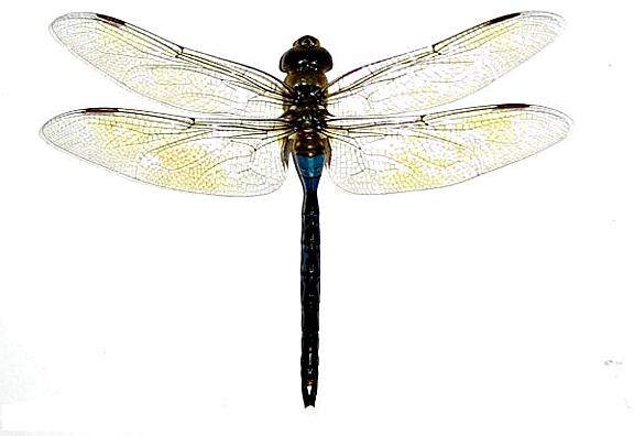 Giant dragonfly - photo#11