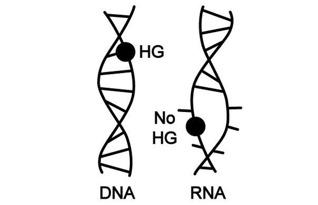 Dnas structure is well suited for genomes astrobiology the dna double helix shown on the left can contort itself into different shapes to absorb chemical damage to the basic building blocks a g c and t ccuart Image collections